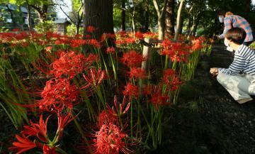 弘経寺で見頃を迎えているヒガンバナ=常総市豊岡町