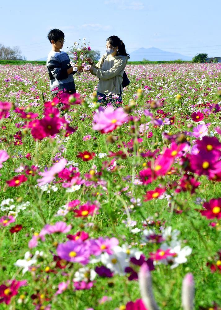 一面に広がるコスモス畑で花摘みをする家族連れ=25日午後、潮来市上戸