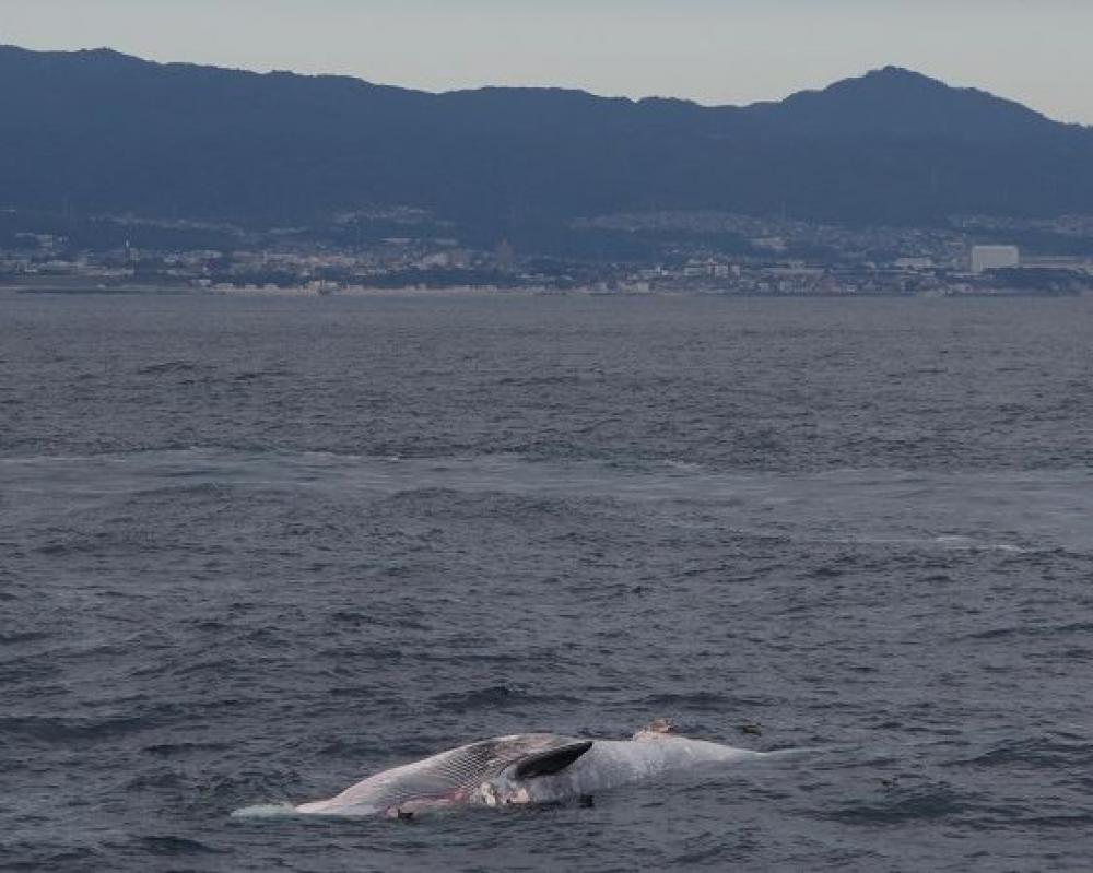常陸那珂港沖を漂うクジラの死骸(茨城海上保安部提供)