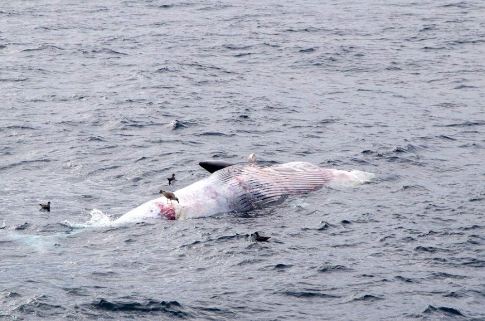常陸那珂港沖を漂流するクジラの死骸=30日午前8時半ごろ(茨城海上保安部提供)