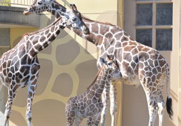 一般公開された赤ちゃんキリンの「クルミ」と両親キリン=日立市宮田町