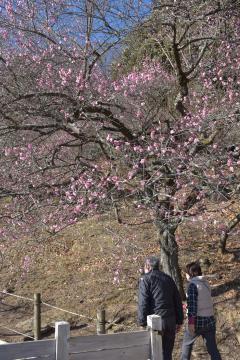 梅の木に花が咲き始めた筑波山の梅林=1月29日午後、つくば市沼田