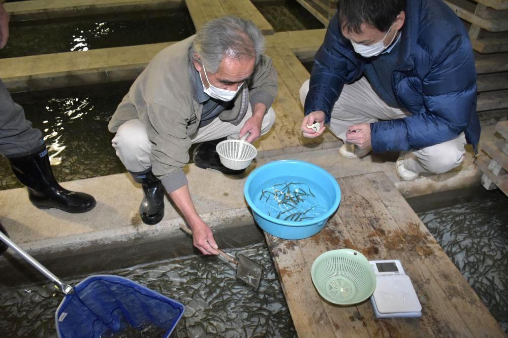 鬼怒小貝漁業協同組合のふ化場で、放流前のサケの稚魚の大きさを測定する県内水面漁業協同組合連合会の八角直道専務理事(右)ら=筑西市女方
