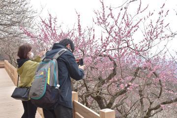 筑波山梅まつりの会場で見頃を迎えた紅梅を写真に収める来場者=26日午前、つくば市沼田