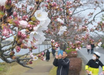 ほころび始めた千波湖の桜=20日午後、水戸市千波町