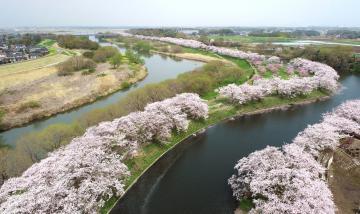 つくばみらい・福岡堰 桜満開、水辺寄り添う春色の画像