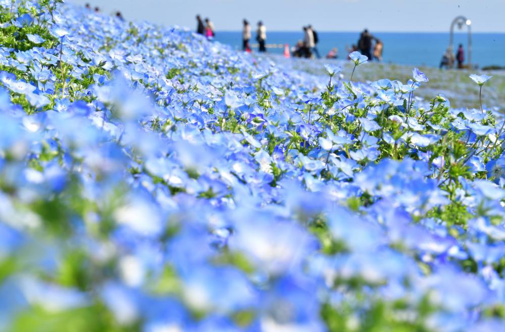丘の上からは、ネモフィラと海、空のブルーが楽しめる=15日、ひたちなか市馬渡の国営ひたち海浜公園