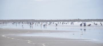 4月中旬の平日にもかかわらず潮干狩り客でにぎわう大洗サンビーチ。潮が引いている時間帯に人が多く集まる=大洗町大貫町