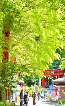 みずみずしい緑色で覆われた鷲子山上神社。ヤマモミジの古木が朱色の鳥居に寄り添うように立つ=3日午後、常陸大宮市鷲子
