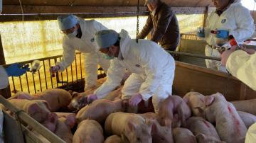 茨城県内の養豚農家 免疫切れ子豚、対策急務 迫る豚熱に危機感の画像