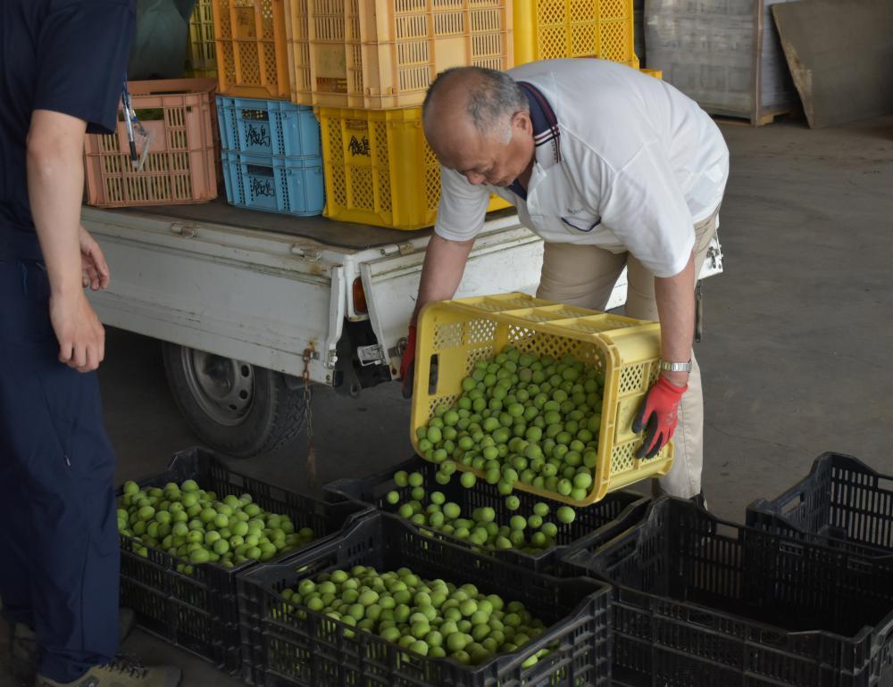 収穫した梅「ふくゆい」を運び込む生産者=水戸市飯島町のJA水戸西部営農資材センター