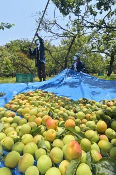 収穫が始まった偕楽園の梅の実=水戸市常磐町、吉田雅宏撮影