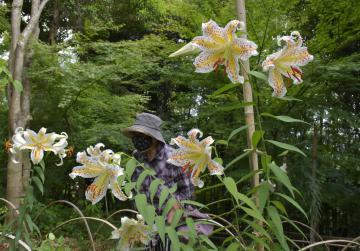 ヤマユリ、甘い香り 利根の画像
