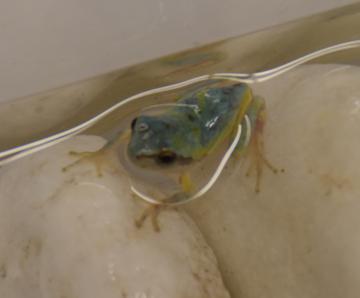 小貝保育園の園児が見つけた青色の「ニホンアマガエル」=常総市上蛇町