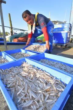 漁が解禁となり身の詰まったワカサギが水揚げされた=21日午前5時43分、行方市手賀、鹿嶋栄寿撮影