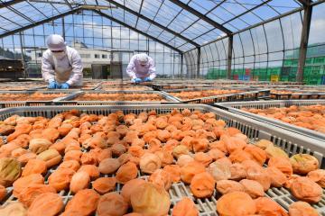 厳しい暑さの中行われる梅の「土用干し」=水戸市渡里町の根本漬物