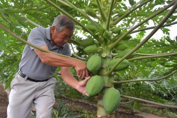 青パパイアを収穫するフカマル農園の深谷清正さん=水戸市鯉淵町