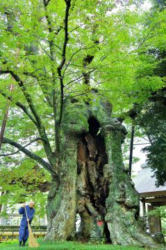 地蔵を抱く樹齢1600年の大ケヤキ=取手市下高井