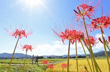 青空の下、鮮やかに咲くヒガンバナ=19日午後、石岡市根小屋
