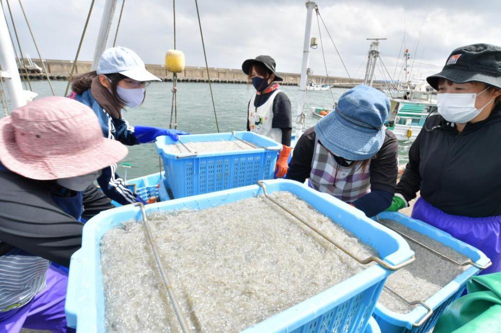 漁から戻ってきた漁船から鹿島灘漁港に水揚げされるシラス=鹿嶋市平井