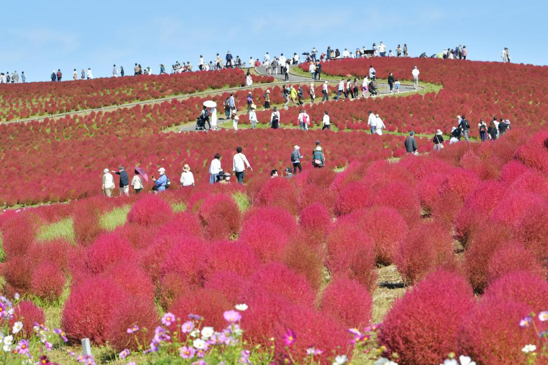 モコモコと膨らみ赤く色づいたコキア=ひたちなか市馬渡の国営ひたち海浜公園