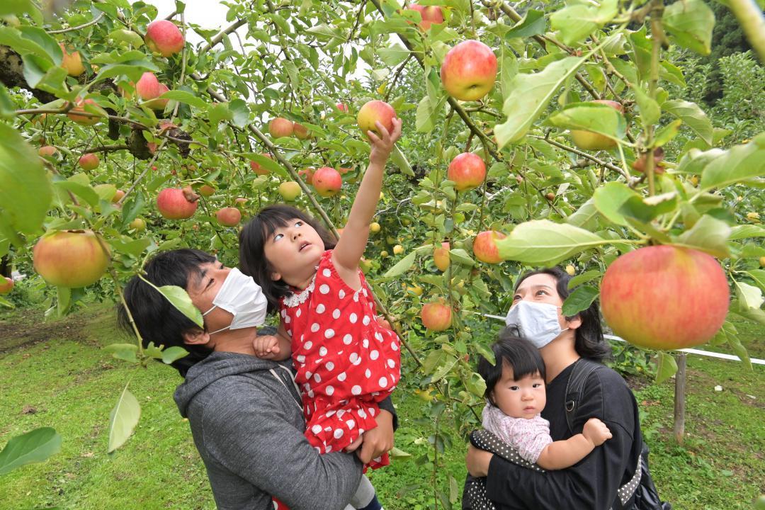 リンゴ狩りを楽しむ家族連れ=16日午前、大子町川山の姫ケ滝りんご園